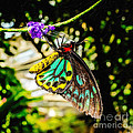 Cairns Birdwing by Jon Burch Photography