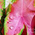 Caladium Leaf by D Hackett
