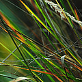 Calamagrostis Lines by Rebecca Sherman