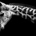 Calf by David Williams