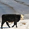 Calf by Grisha Grigorov