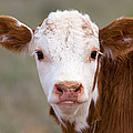 Calf Portrait by Panoramic Images