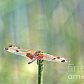 Calico Pennant From Above by Cheryl Baxter