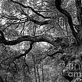 California Black Oak Tree by B Christopher