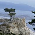California Bonsai by T Cook