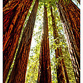 California Coastal Redwoods by Artist and Photographer Laura Wrede