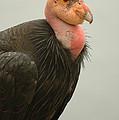 California Condor Big Sur by Jeff Black