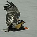 California Condor At Big Sur by Jeff Black
