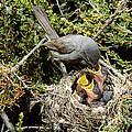 California Gnatcatcher Feeding Young by Anthony Mercieca