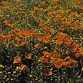 California Gold Poppies by Susan Rovira