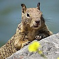 California Ground Squirrel by Emily Hargreaves