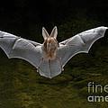 California Leaf-nosed Bat by Anthony Mercieca