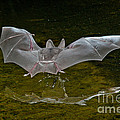 California Leaf-nosed Bat At Pond by Anthony Mercieca