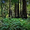 California - Muir Woods 007 by Lance Vaughn