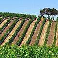 California Oak In Vineyard by Jeff Lowe