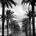 California Palms - Black And White by Carol Groenen