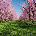 California Peach Tree Orchard  by Anonymous