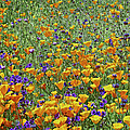 California Poppies And Desert Blubells by Tim Fitzharris