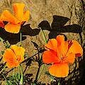 California Poppies - Crisp Shadows From The Desert Sun  by Georgia Mizuleva