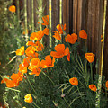California Poppies by Portraits By NC