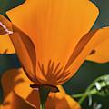 California Poppies  Eschscholzia by Robert L. Potts