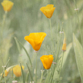 California Poppies by Kim Hojnacki
