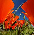 California Poppies by Mark Rasmussen