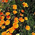 California Poppies by Mimi Saint DAgneaux