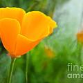 California Poppies by Susie Peek
