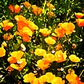 California Poppies by Timothy Bulone