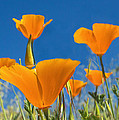 California Poppy 2 by Rima Biswas