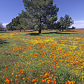 California Poppy And Eriophyllum by Tim Fitzharris