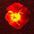 California Poppy By Nadine Johnston by Bob and Nadine Johnston