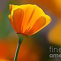 California Poppy by Dennis Flaherty