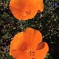 California Poppy Duet by Don Kreuter