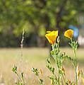 California Poppy by Gregory Dean