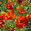 California Poppy's by Kenny Bosak