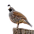 California Quail by Robert Bales