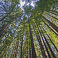 California Redwood Forest by Brendan Reals