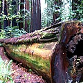 California Redwoods 2 by Will Borden
