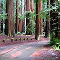 California Redwoods 3 by Will Borden