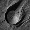 California Sand Dollar by Puget  Exposure