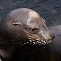 California Sea Lion by John Daly