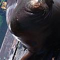 California Sea Lion by Steve Archbold