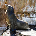 California Sea Lion by Tommy Anderson
