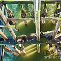 California Sealions Under The Santa Cruz Pier by Artist and Photographer Laura Wrede