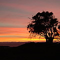 California Tree At Sunset by Susan Wyman