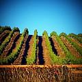 California Vineyard by Joyce Kimble Smith