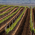 California Vineyard by Roger Mullenhour