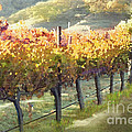 California Vineyard Series Morning In The Vineyard by Artist and Photographer Laura Wrede